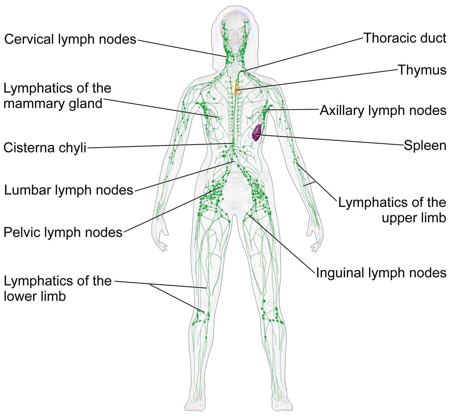 lymphatic massage img